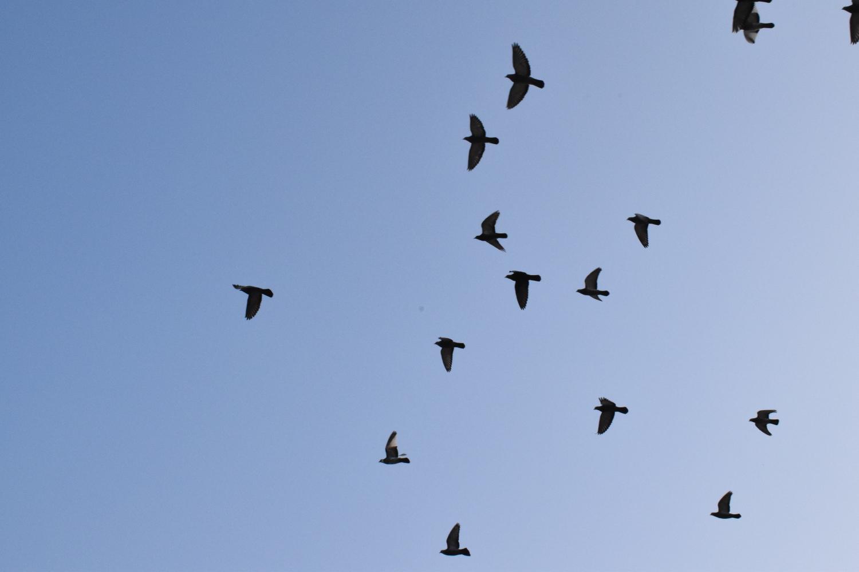 Non mandate un piccione viaggiatore